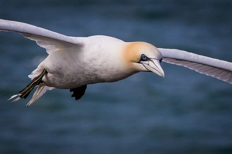 Photograph Flying Northern Gannet on Helgoland by Andreas Leonhardt on 500px
