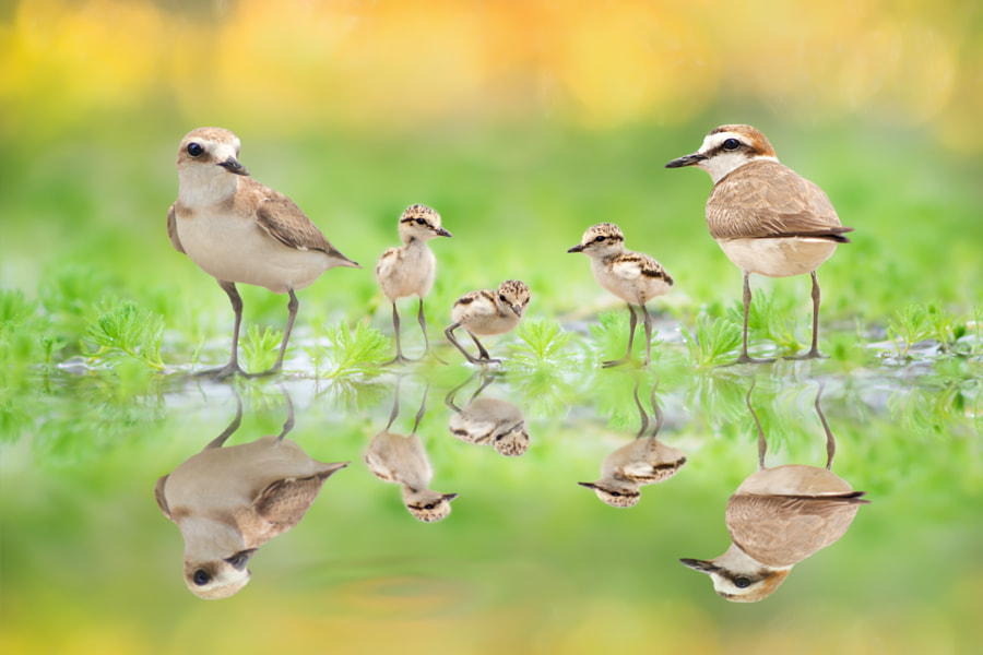 ~ Family Portrait | Kentish Plover ~, автор — FuYi Chen на 500px.com