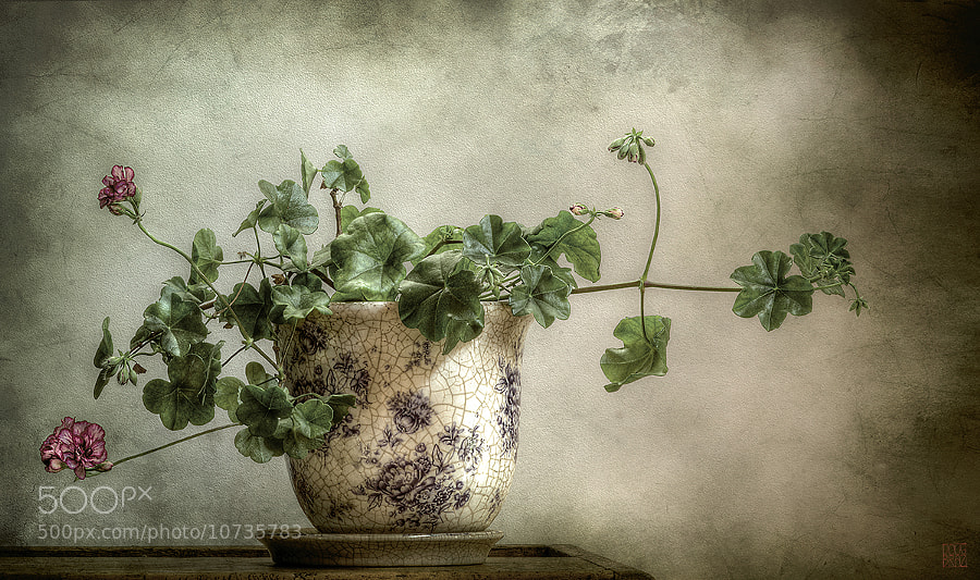 Photograph geranium by Doug Stewart on 500px