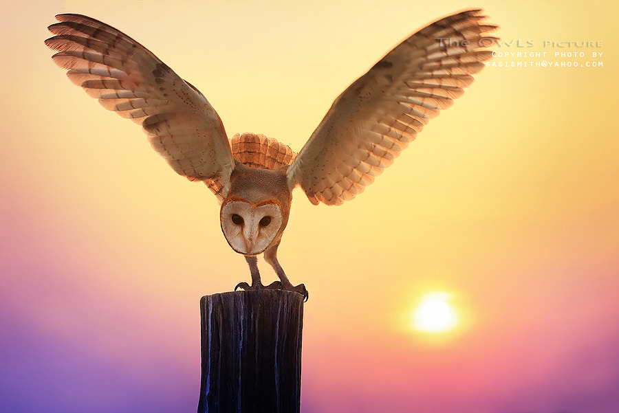 Photograph Barn Owl by Sasi - smit on 500px