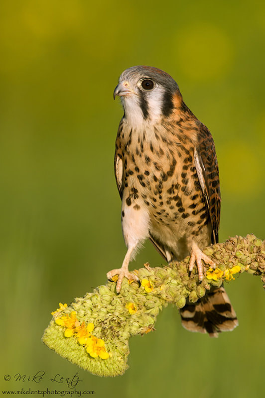 Photograph American Kestral (female) on Common Mullein by Mike  Lentz on 500px