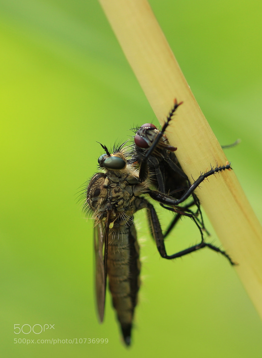 Photograph Robber fly at work by Jonas Merkelbach on 500px