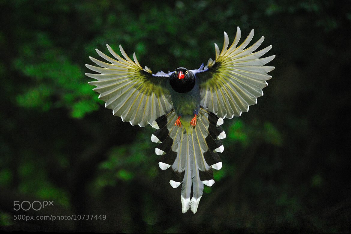 Photograph Formosan Blue Magpie by Chang Elixirbb on 500px