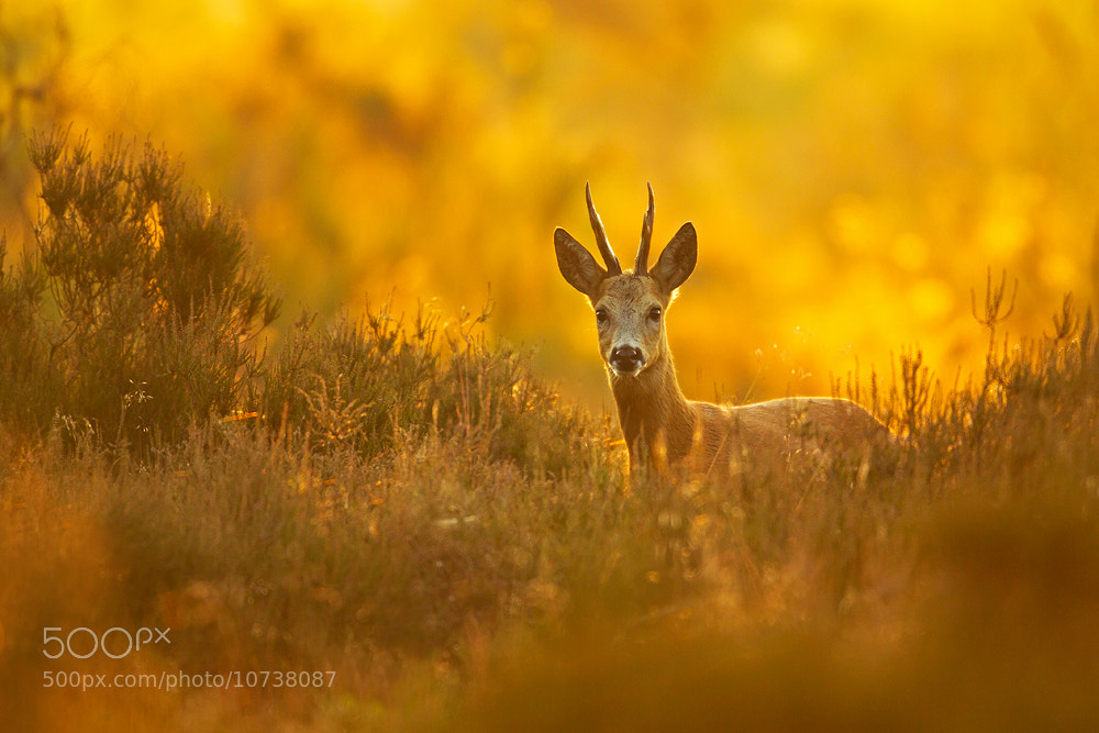 Photograph Golden hour roe deer by René Visser on 500px