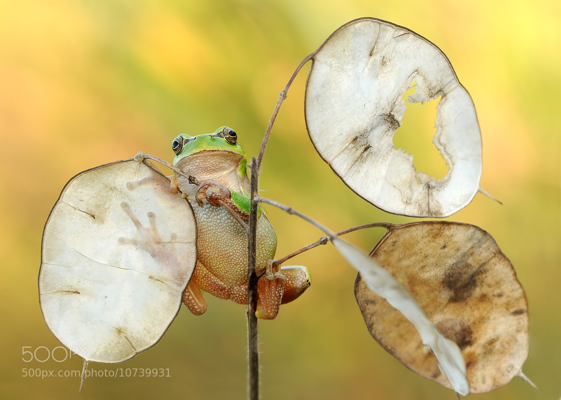 Photograph Hyla arborea by Aliona Shevtsova on 500px