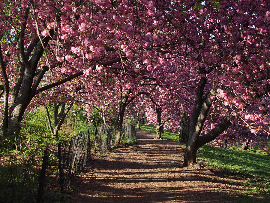 Photograph Kwanzan Cherry Blossom Walk, Central Park by Nancy Lundebjerg on 500px