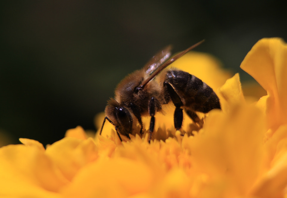 Photograph Bee Working by Oscar Costas on 500px