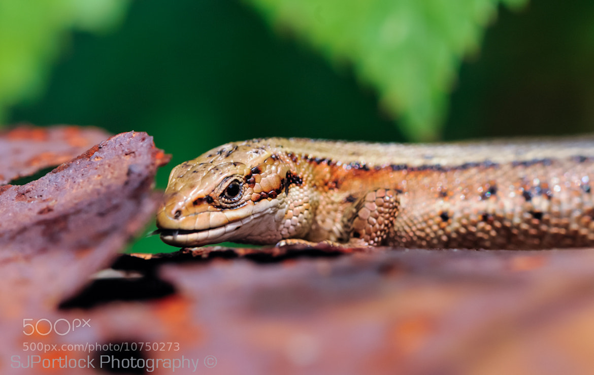 Photograph Common Lizard  by Stephen Portlock on 500px