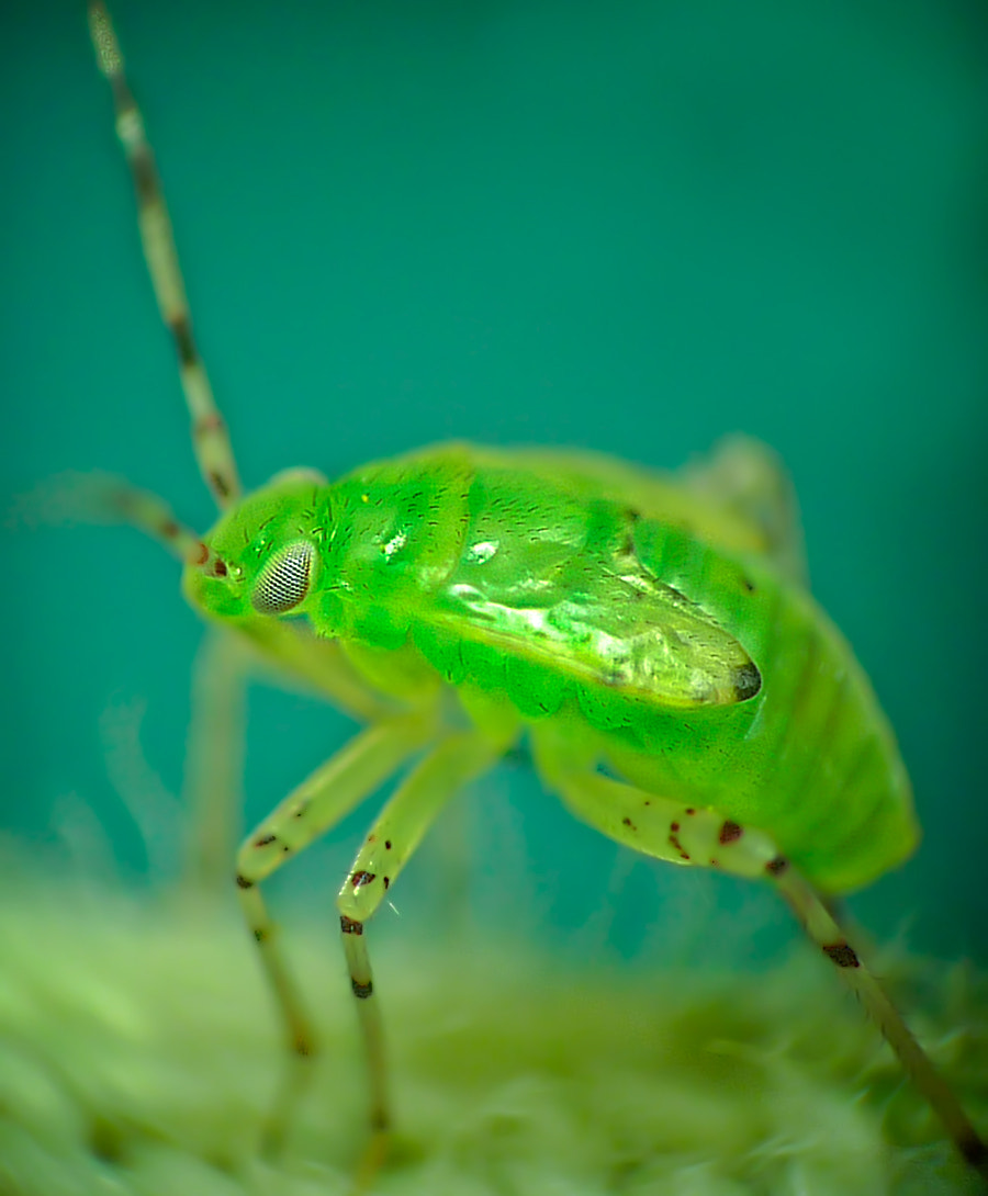 Photograph Green bug by Ferdinando valverde on 500px