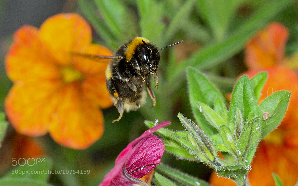 Photograph Bee in Flight by Mike Smith on 500px
