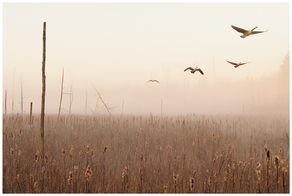 Photograph Canadian Geese at dawn by Michael Higgins on 500px