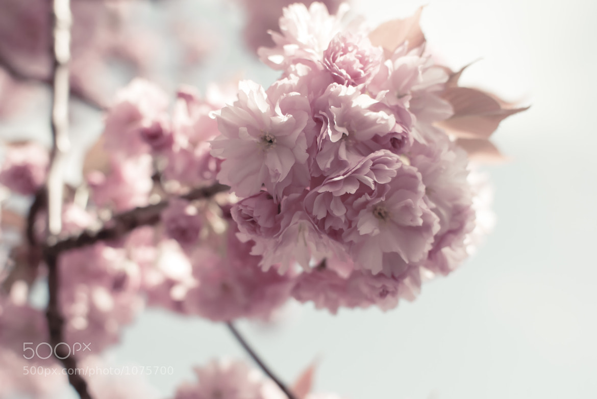 Photograph Spring's arrival : Cherry blossoms by Jaclyn Le on 500px