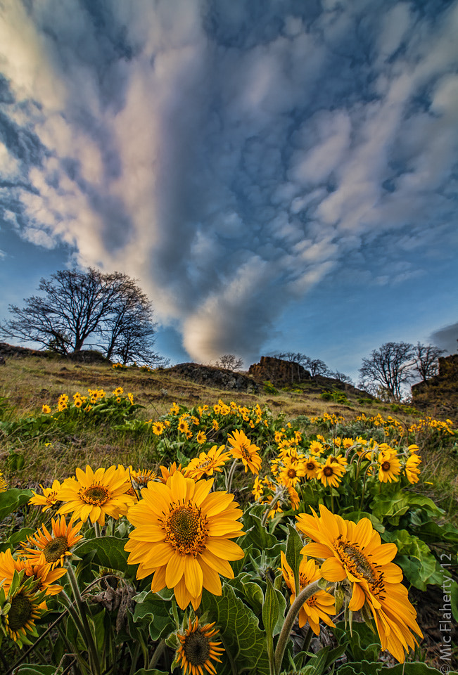 Photograph Blooming Balsamroot by Michael Flaherty on 500px