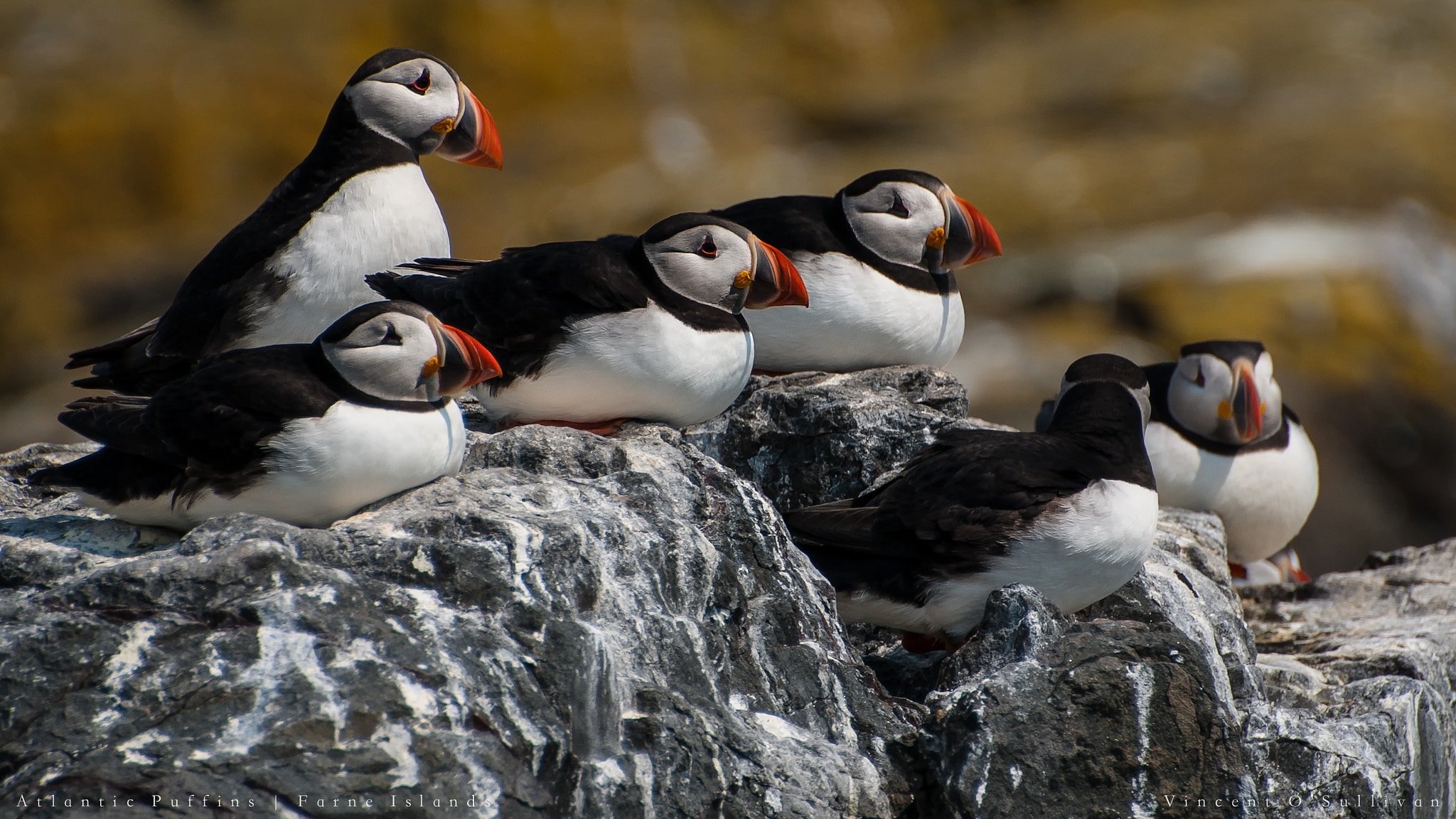 Photograph Atlantic Puffins, Farne Islands by Vince O'Sullivan on 500px