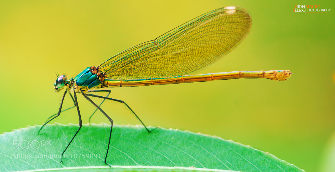 Photograph damsel vibrant by Redzicowszki  on 500px