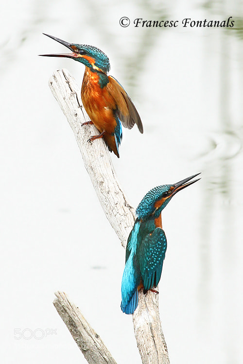 Photograph Pareja de Alcedo atthis by Francesc Fontanals  on 500px