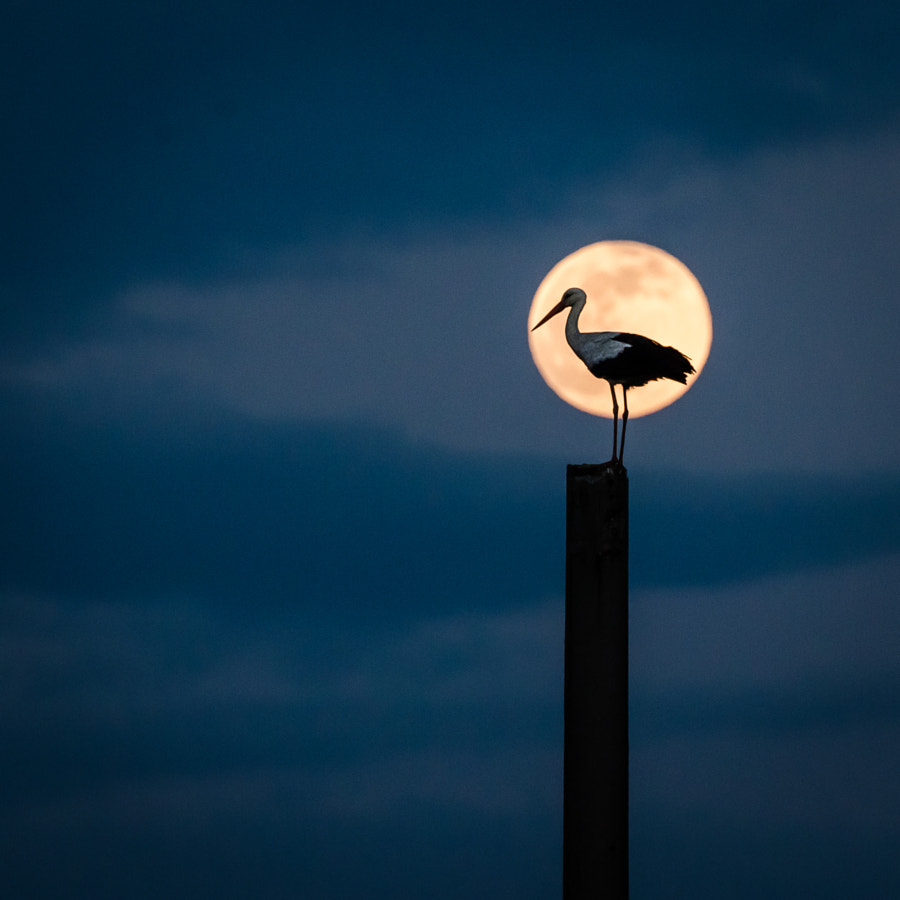 Moon stork by Catalin Pomeanu on 500px.com