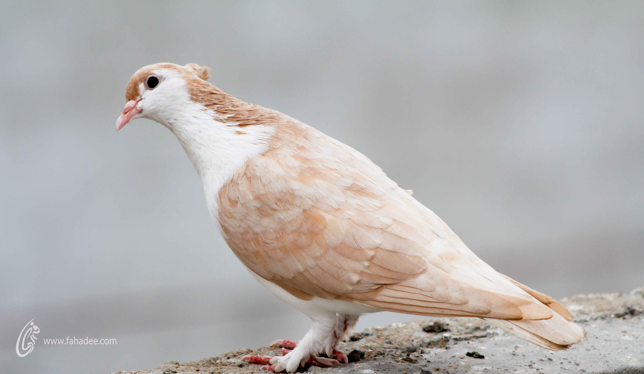 Photograph Pigeon by Fahad Siddiqui on 500px