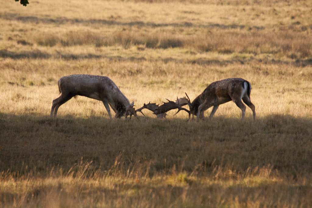 Photograph Jousting Stags by Jonathan Nicholson on 500px