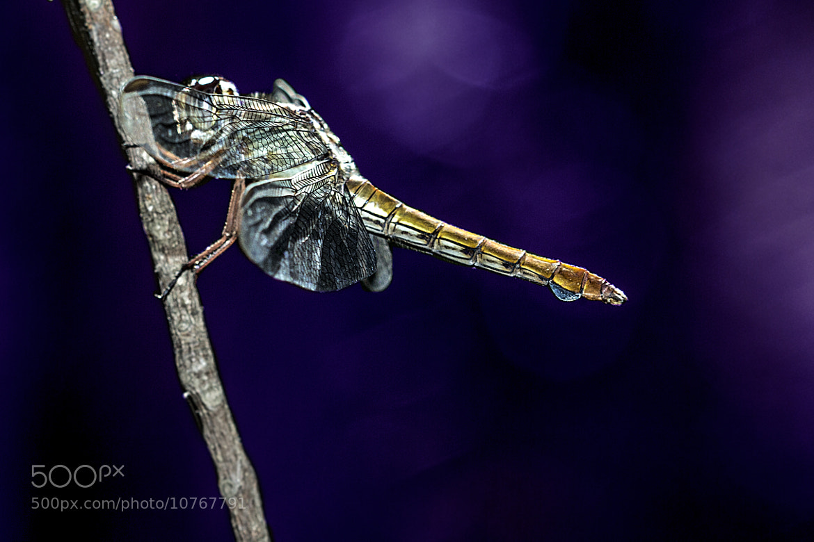 Photograph Dragonfly by Fernando Sousa on 500px