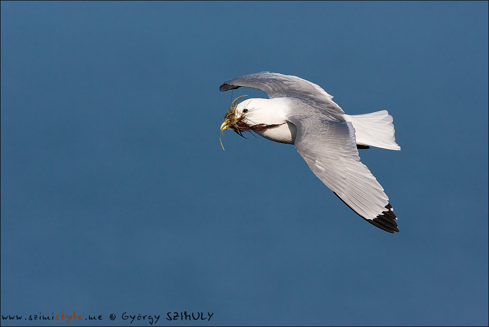 Photograph Black-legged Kittiwake (Rissa tridactyla) by Gyorgy Szimuly on 500px