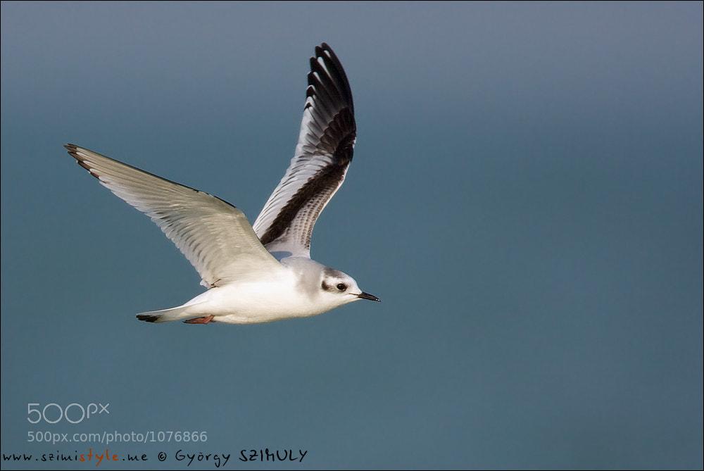 Photograph Little Gull (Hydrocoloeus minutus) by Gyorgy Szimuly on 500px