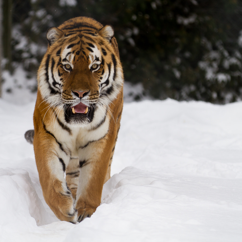 Photograph Siberian Tiger by Mike Sanders on 500px
