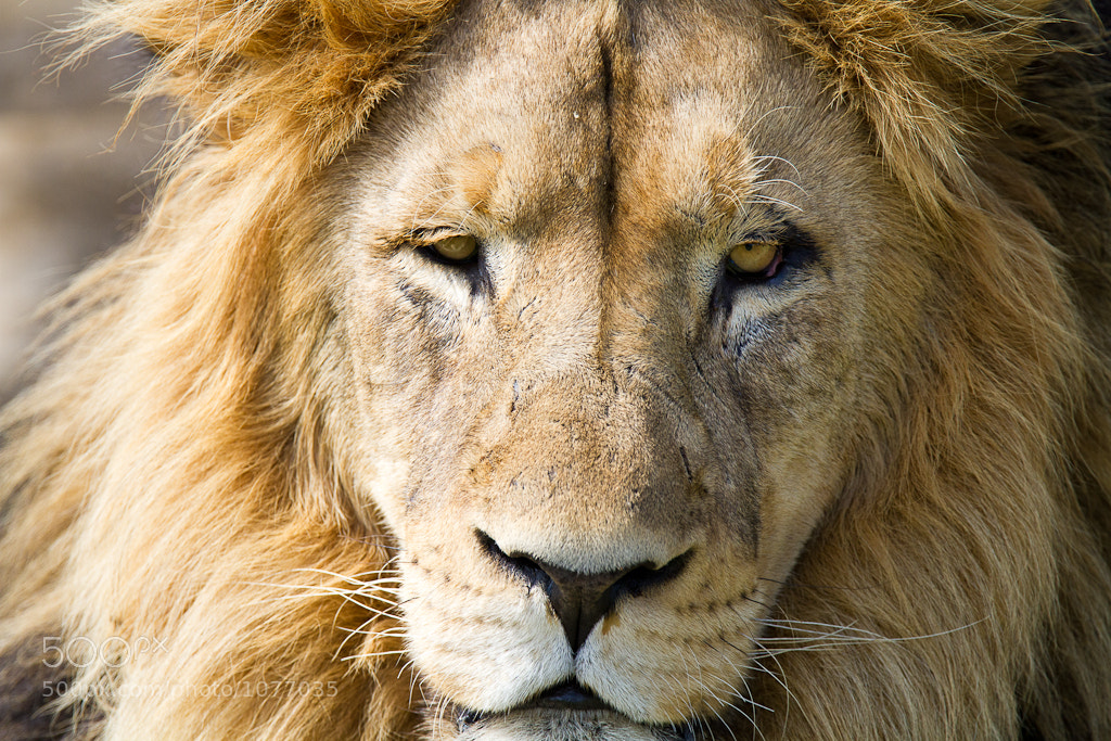 Photograph Lion by Mike Sanders on 500px