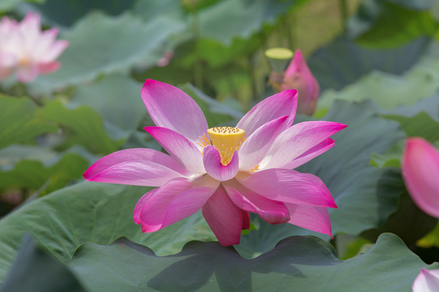 Graceful Lotus.