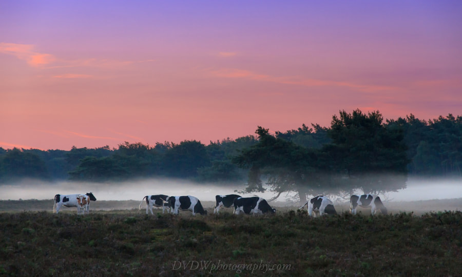 Photograph Foggy morning cows by Dennis van de Water on 500px