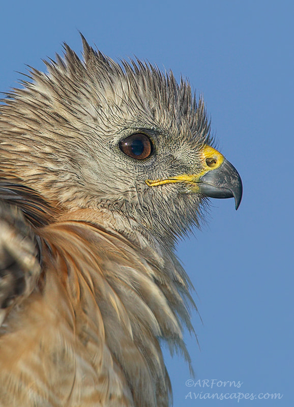 Photograph Red shouldered hawk by Alfred Forns on 500px