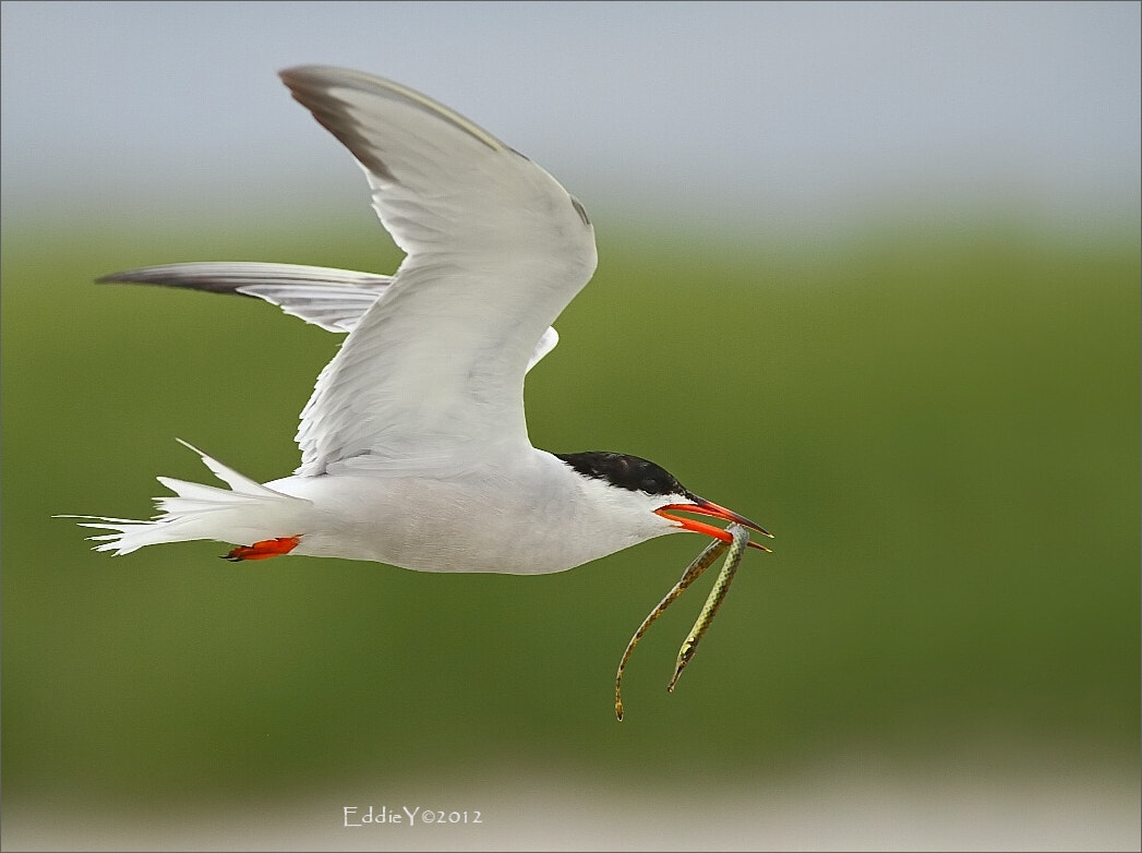 Photograph Common Tern with a Fish  by Eddie Yu on 500px