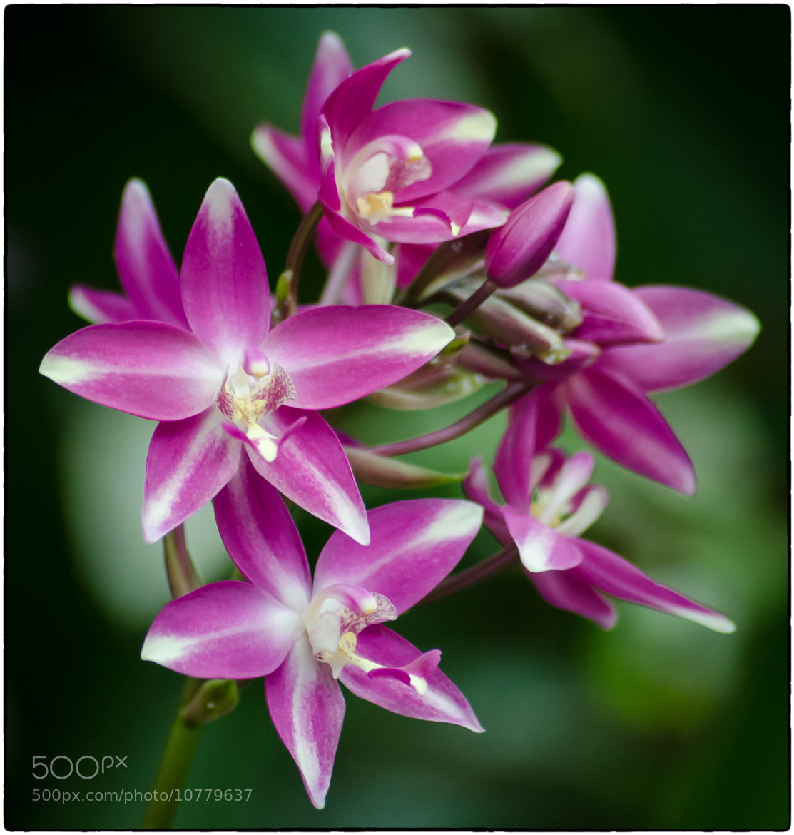 Photograph Orchid in Bloom by Stevan Tontich on 500px
