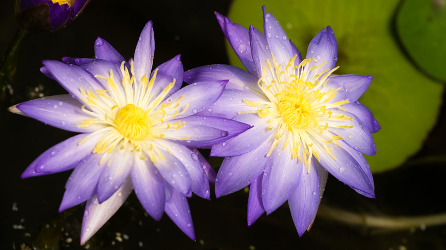 Photograph Blue Lotus Flower by Travis Chau on 500px