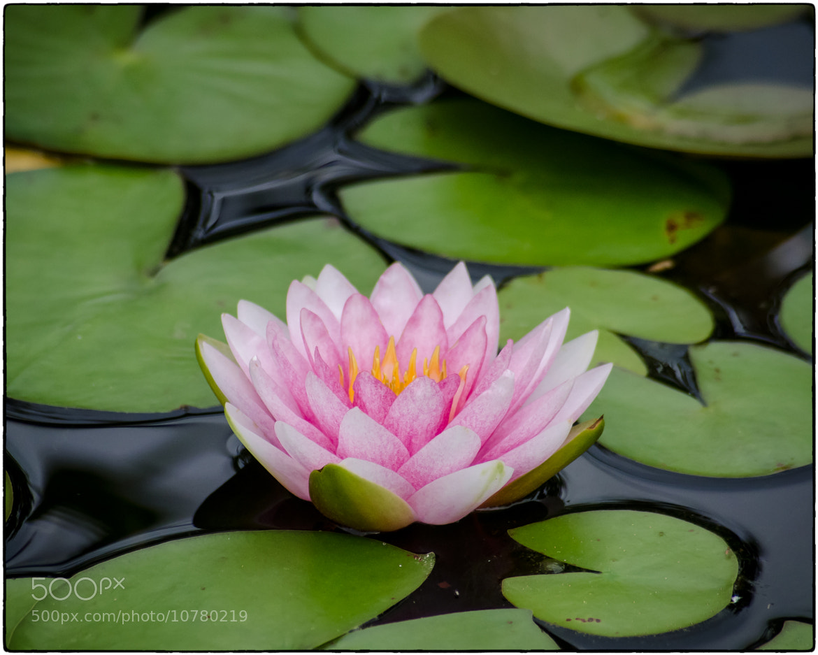Photograph Lotus by Stevan Tontich on 500px
