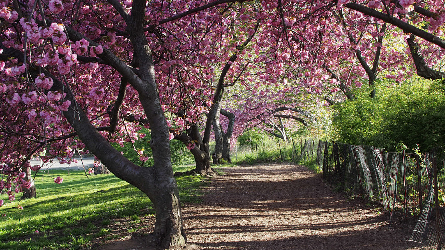 Photograph Kwanzan Cherry Blossom Walk II, Central Park, NYC by Nancy Lundebjerg on 500px