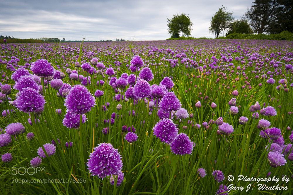 Photograph Chives by Gary Weathers on 500px