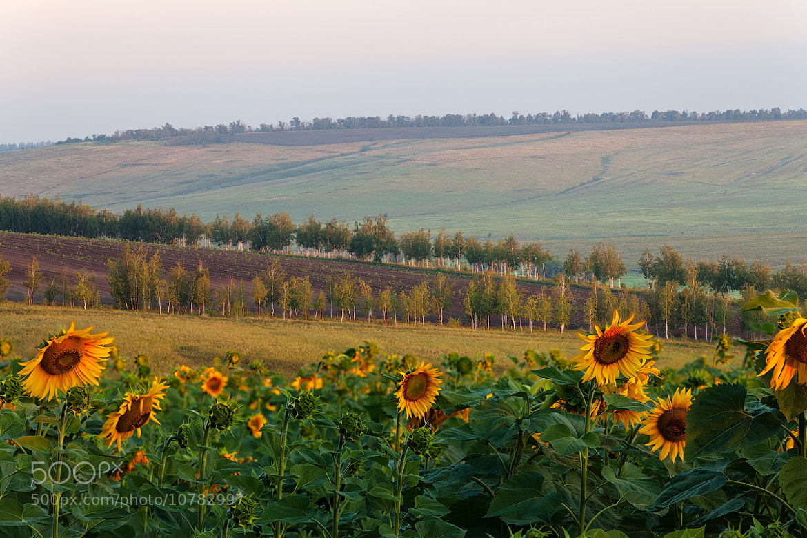 Photograph sunflower field by Sergey Ershov on 500px
