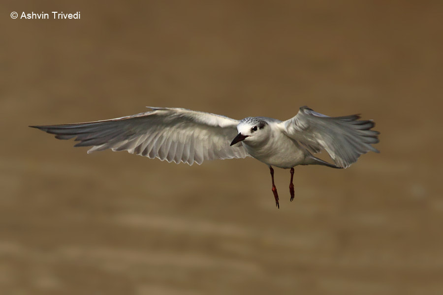 Photograph Whiskered Tern by Vatsal Trivedi on 500px