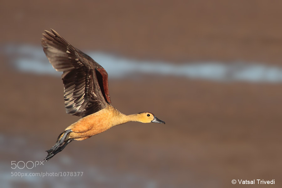 Photograph Lesser Whisteling Duck by Vatsal Trivedi on 500px