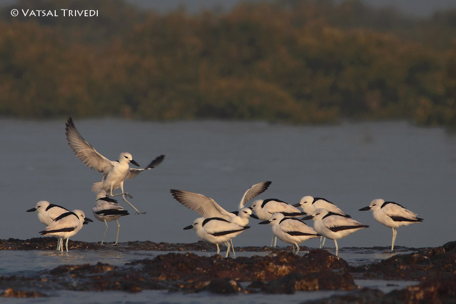 Photograph Crab Plover by Vatsal Trivedi on 500px