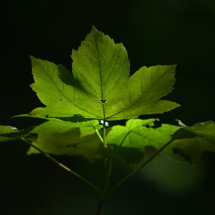 young spring maple