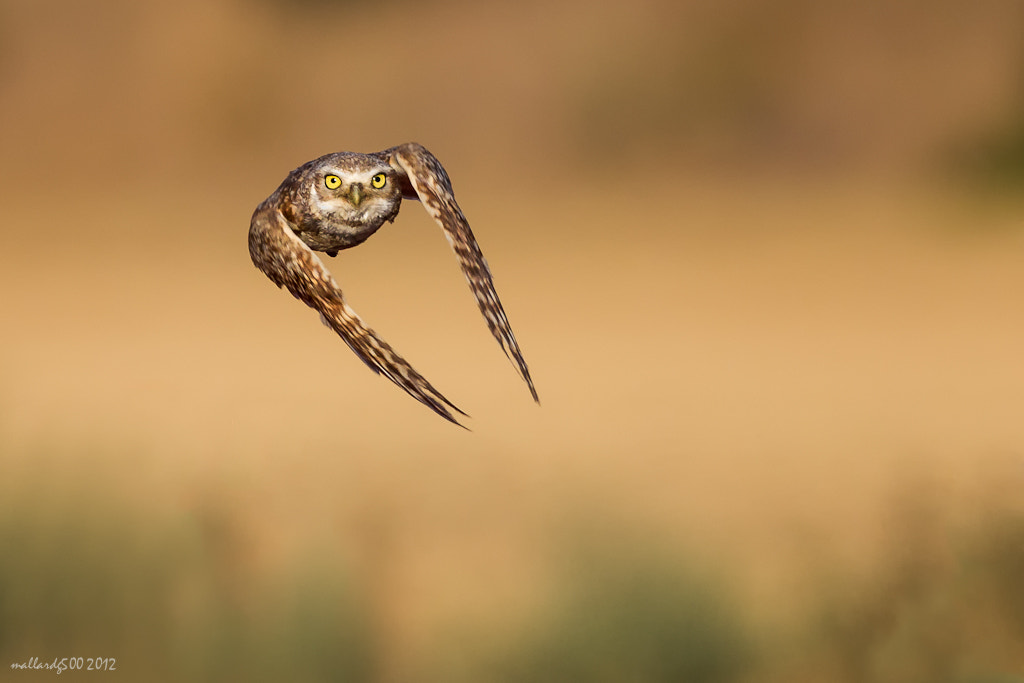 Photograph Burrowing Owl by Phoo (mallardg500) Chan on 500px