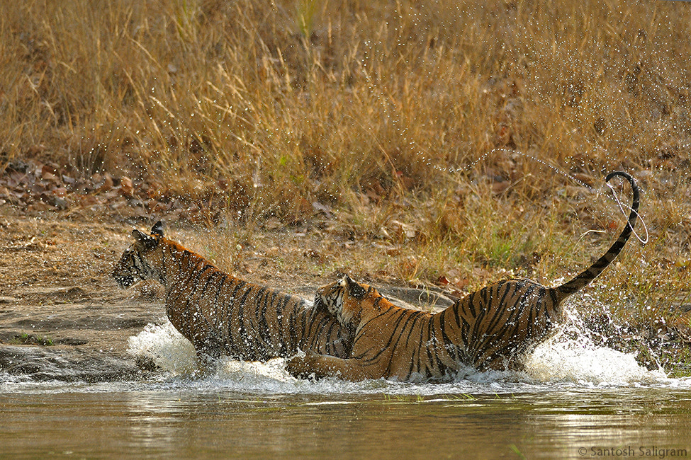 Photograph A Game of Cat and Cat by Santosh Saligram on 500px