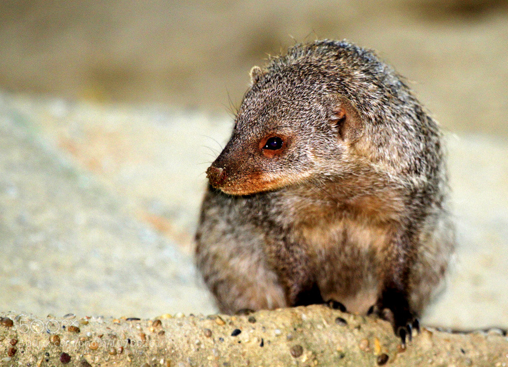 Photograph Banded mongoose by Rainer Leiss on 500px