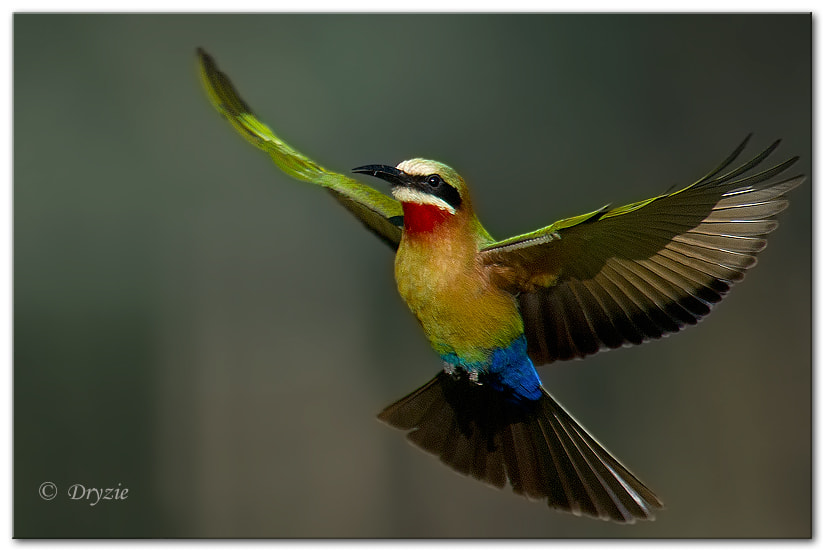 Photograph White Fronted Bee Eater 3 by Mark Drysdale on 500px