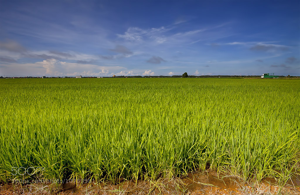 Photograph Paddy Field by aku madie on 500px