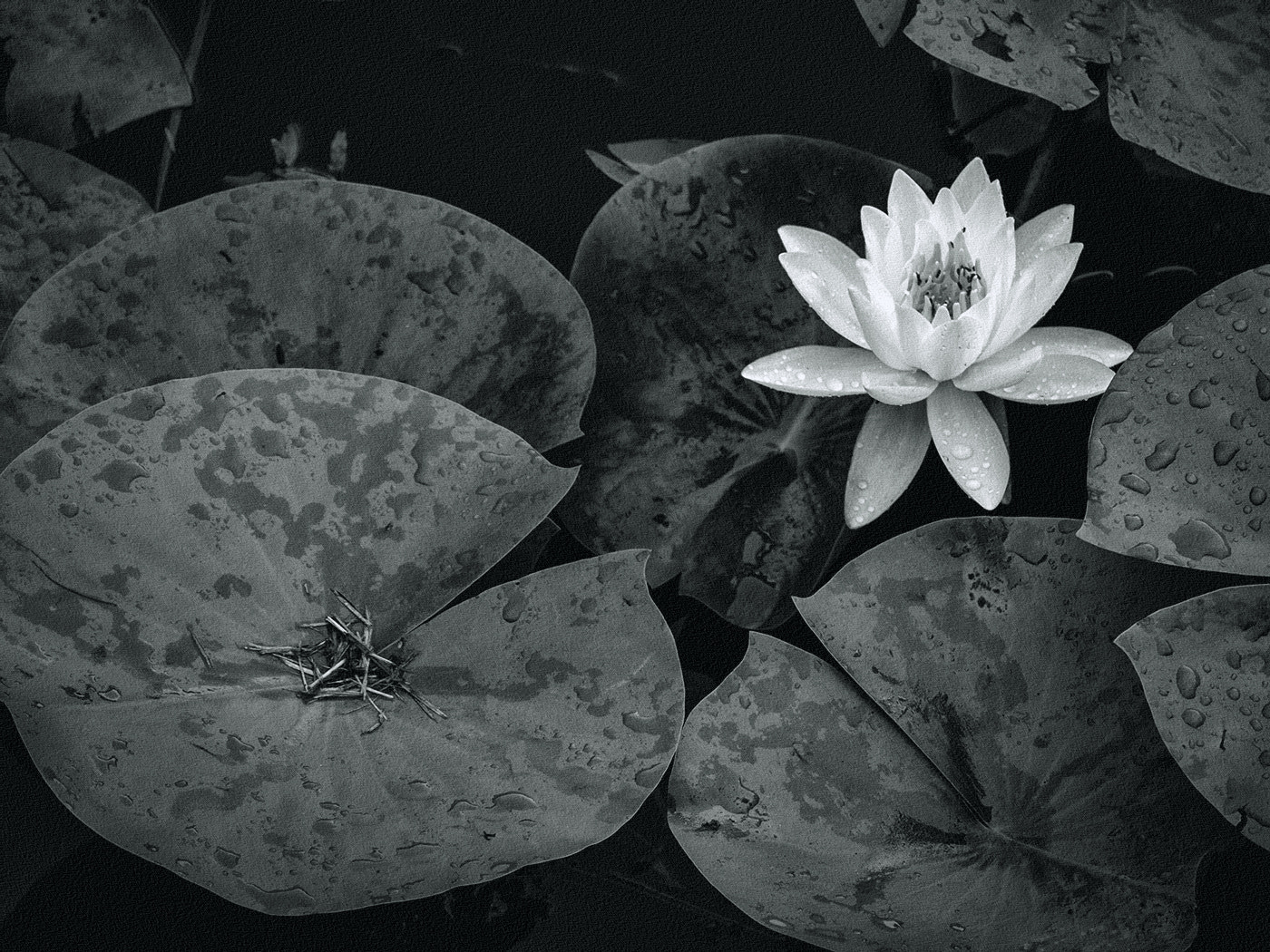 Photograph Lily in Pond by Alan Borror on 500px