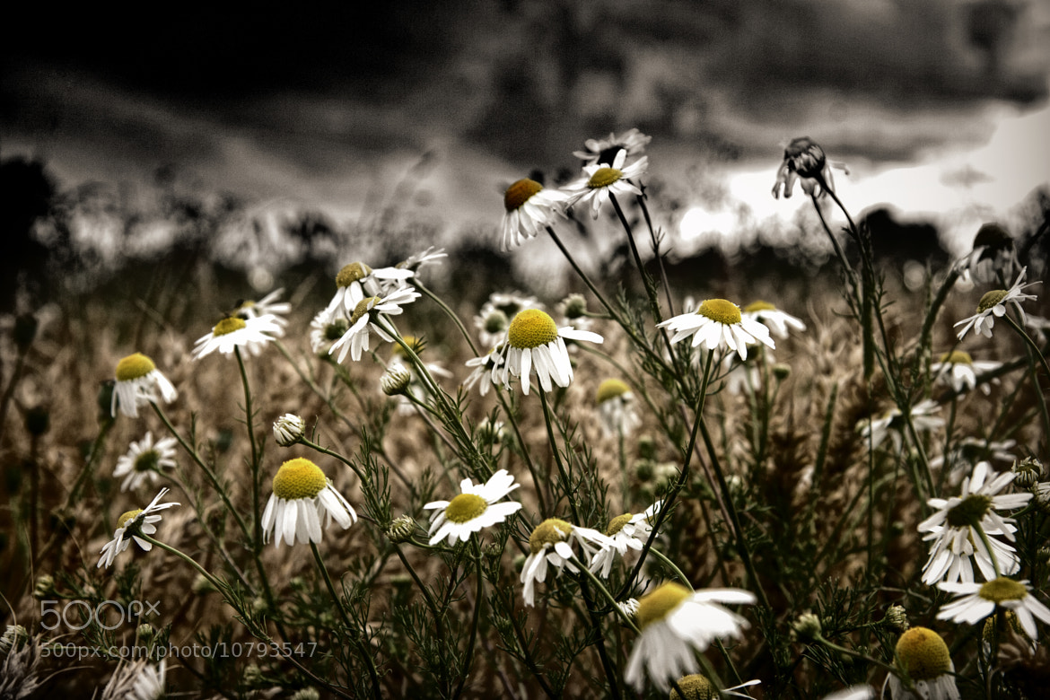 Photograph Daisies by Alan Sheers on 500px