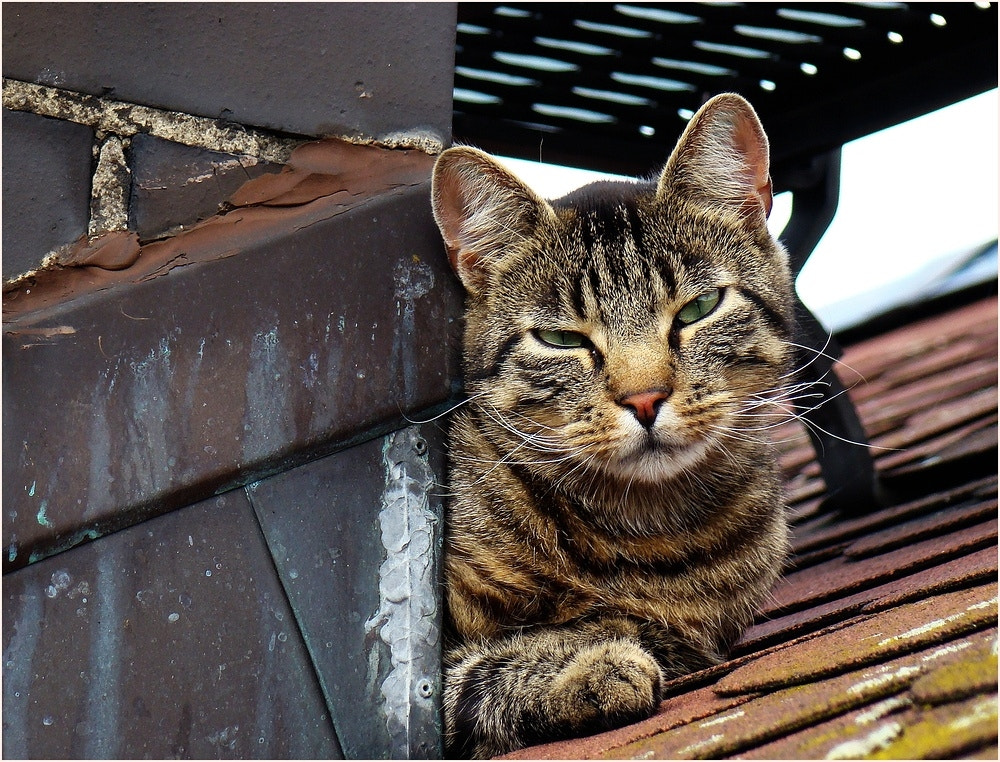 Photograph Cat on a Hot Tin Roof by Birgit Weck on 500px